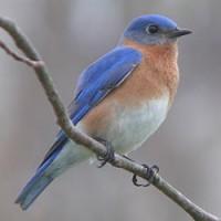 Profile picture of Bluebirdi
